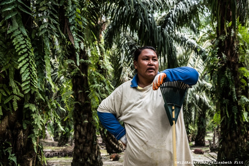 Farmer Herzuza Dongkin manages 5 hectares of oil palm forest. The 38-year-old's medium-term goal is to achieve RSPO certification. 'I used to think that weeds were bad and so I sprayed a lot of pesticides on my crops. But Wild Asia has shown me that it's good to have the ground around the palms be covered by plants to retain moisture, for example.'